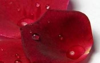 Come un petalo di rosa rossa